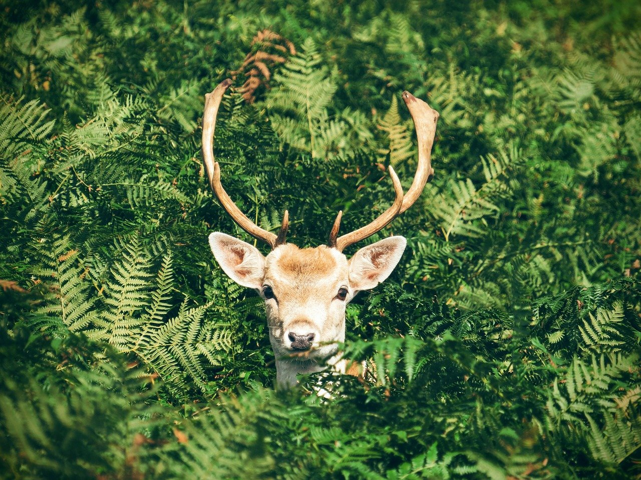 antlers-1866537_1280-min