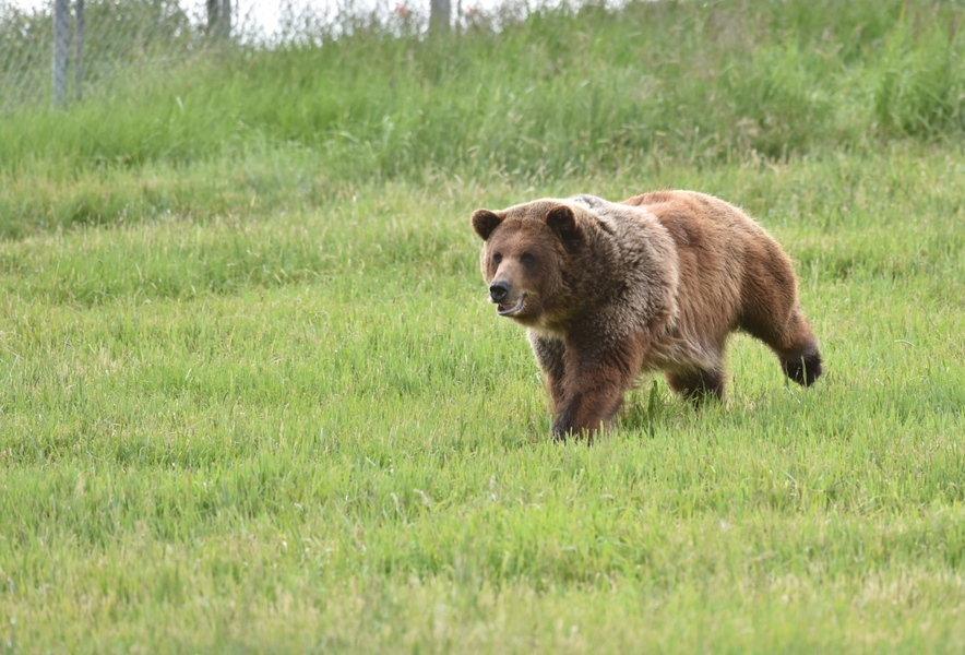 Grizzly Bears for Bear Wonders